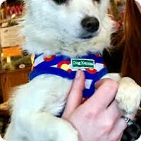 Adopt A Pet :: Cotton-ADOPTION PENDING - Boulder, CO