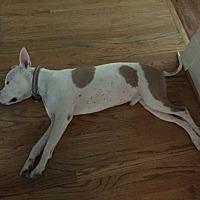 Adopt A Pet :: Petey--Houston - Fulton, MO
