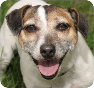 Jack Russell Terrier Dog for adoption in Chicago, Illinois - Little Lady