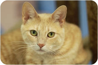 Domestic Shorthair Cat for adoption in Chicago, Illinois - Biscotti