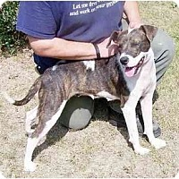 American Pit Bull Terrier/Hound (Unknown Type) Mix Dog for adoption in Charlottesville, Virginia - Ellie May