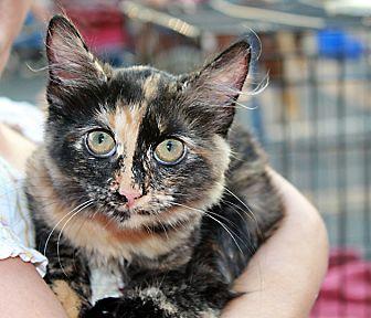 Calico Cat for adoption in Redlands, California - Layla