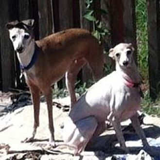 Italian Greyhound Dog for adoption in Argyle, Texas - Jenny & Roozie in Beaumont