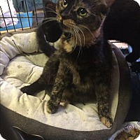 Adopt A Pet :: Bindi - Chattanooga, TN