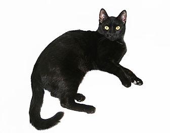 Bombay Cat for adoption in Los Angeles, California - Delta