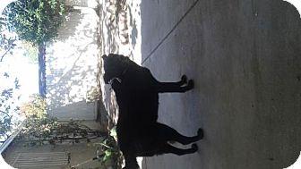 Belgian Shepherd/Labrador Retriever Mix Dog for adoption in Baltimore, Maryland - BABY - COURTESY POST