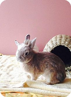 Lionhead Mix for adoption in Los Angeles, California - Orangina