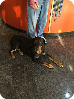 Rottweiler Dog for adoption in Fort Worth, Texas - Louise