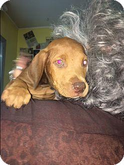 Bluetick Coonhound Mix Puppy for adoption in Henderson, Kentucky - Latte