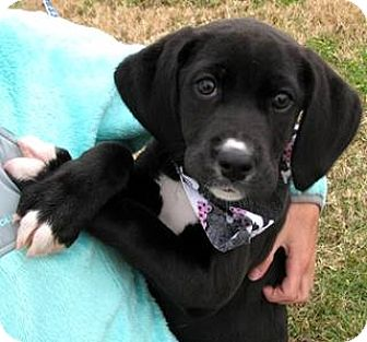 Labrador Retriever/Weimaraner Mix Puppy for adoption in Oswego, Illinois - I'M ADOPTED Mistletoe (Missi)