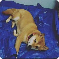 Shiba Inu Mix Dog for adoption in Elizabeth, New Jersey - Natsu