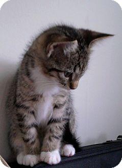 Domestic Shorthair Kitten for adoption in Kirkwood, Delaware - Socks