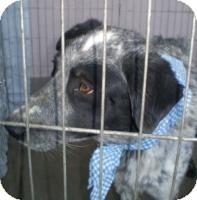 Border Collie Mix Dog for adoption in Las Vegas, Nevada - Tank