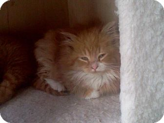 Domestic Longhair Kitten for adoption in East Brunswick, New Jersey - Fig