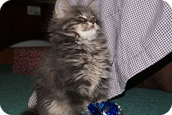 Domestic Longhair Kitten for adoption in Trevose, Pennsylvania - Dust Bunny