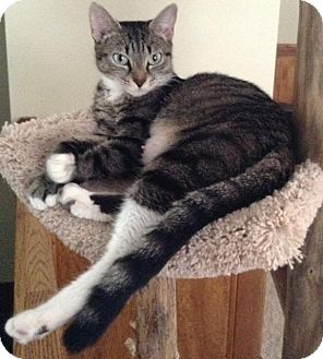 Domestic Mediumhair Cat for adoption in Baltimore, Maryland - Taylor