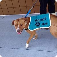 Pit Bull Terrier Mix Dog for adoption in Manteo, North Carolina - Sunshine