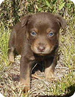 Australian Cattle Dog/Cardigan Welsh Corgi Mix Puppy for adoption in Allentown, New Jersey - Pablo