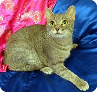 Domestic Shorthair Cat for adoption in St. Louis, Missouri - Lucia