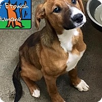 Adopt A Pet :: Tommy Boy - Westminster, MD