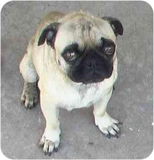 Pug Dog for adoption in Norman, Oklahoma - Iggy