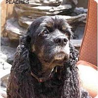 Adopt A Pet :: Peaches - Tacoma, WA