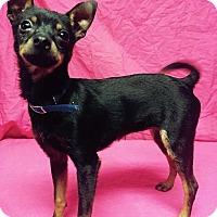 Adopt A Pet :: Iggy - Bedminster, NJ