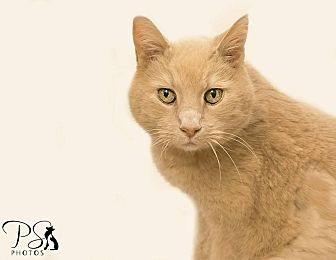 Domestic Shorthair Cat for adoption in Belton, Missouri - Donovan