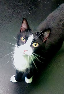 Domestic Shorthair Cat for adoption in Barnwell, South Carolina - George