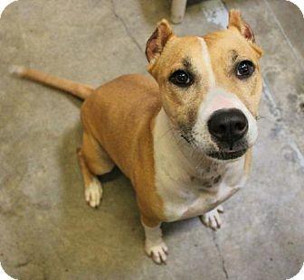Boxer/Terrier (Unknown Type, Medium) Mix Dog for adoption in Hilton Head, South Carolina - Jasmina