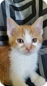 Domestic Shorthair Kitten for adoption in South Haven, Michigan - Carmella - In Foster