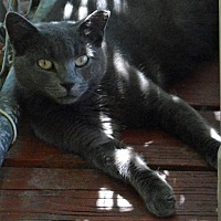 Domestic Shorthair Cat for adoption in Middletown, New York - Venus Too