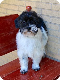 Schnauzer (Miniature)/Poodle (Miniature) Mix Dog for adoption in Munster, Indiana - Murphy