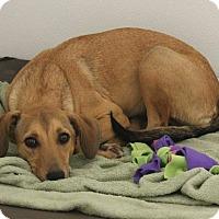 Beagle/Hound (Unknown Type) Mix Dog for adoption in Nixa, Missouri - Beasley #936