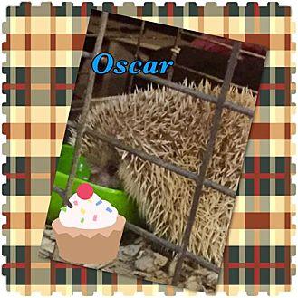 Hedgehog for adoption in Sparks, Nevada - Oscar