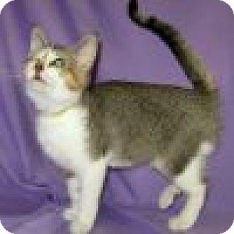 Domestic Shorthair Cat for adoption in Powell, Ohio - Darma