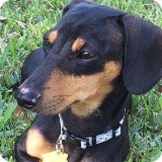 Dachshund Dog for adoption in Houston, Texas - Lucy Lakeland