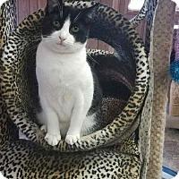 Adopt A Pet :: Cat 13709 (Miko) - Parlier, CA