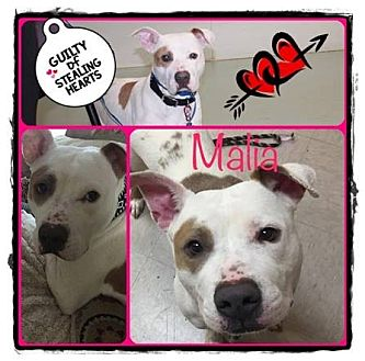American Staffordshire Terrier Dog for adoption in Louisiana, Missouri - Malia