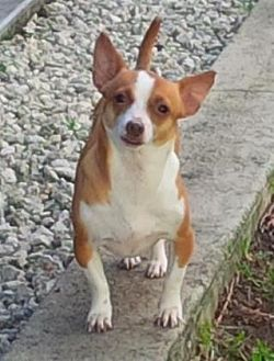 Chihuahua Mix Dog for adoption in Pompano Beach, Florida - Paul