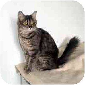 Domestic Mediumhair Cat for adoption in Washougal, Washington - Janesse