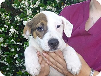 Australian Shepherd/Labrador Retriever Mix Puppy for adoption in Oviedo, Florida - Sammy