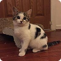 Adopt A Pet :: Piper -Sweet Survivor - Arlington, VA