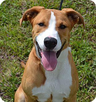 Pit Bull Terrier/Australian Cattle Dog Mix Dog for adoption in Larned, Kansas - Rocko