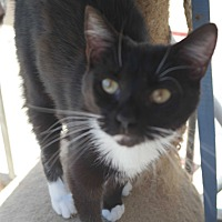 Domestic Shorthair Cat for adoption in San Pablo, California - BILLE
