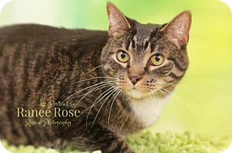 Domestic Shorthair Cat for adoption in Sterling Heights, Michigan - Vance
