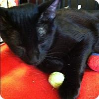 Domestic Shorthair Cat for adoption in Seminole, Florida - Black Beauty
