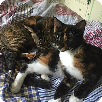 Domestic Mediumhair Cat for adoption in Jacksonville, Florida - Cinnabon