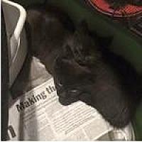 Domestic Shorthair Cat for adoption in Lorain, Ohio - Lestat