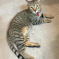 Domestic Shorthair Cat for adoption in Marco Island, Florida - Lexi